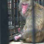 Rođena beba Makaki majmuna