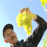 Vinova loza Tome Cvetkovića iz Glogovca: Jedan čokot dug 35 metara pun slatkog grožđa