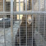 Stižu topli dani: Medvedi jagodinskog ZOO vrta na Sretenje izašli na svež vazduh