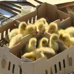 Održana osma prolećna berza sitnih životinja u Jagodini