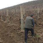 Zaštita zasada vinove loze